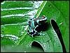 Dendrobates auratus Birkhahn