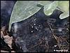 Dendrobates auratus colon