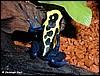 Dendrobates tinctorius male