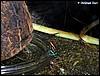 Dendrobates amazonicus